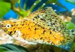 Photo Sailfin Molly, Yellow