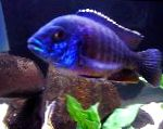 Photo Blue Peacock Cichlid, Purple