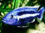 Photo Melanochromis chipokae, Striped