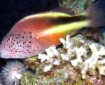 Photo Freckled hawkfish, Motley