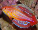 Filamented flasher-wrasse
