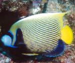 Photo Emperor Angelfish, Striped