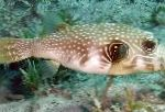 Photo White-spotted Puffer, Spotted
