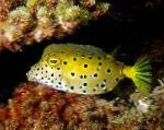 Photo Cubicus Boxfish, Spotted