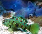 Spotted Green Mandarin Fish