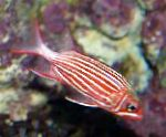 Koruna Squirrelfish