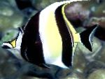 Photo Moorish Idol, Striped