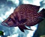 Photo Calvus Cichlid, Spotted