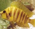Photo Gold Head Compressicep Cichlid, Striped