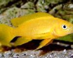 Lemon Cichlid, Orange Leleupi Cichlid