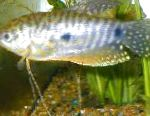 Photo Cosby gourami, Spotted