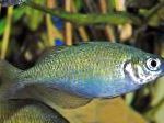 Lake Wanam rainbowfish,