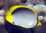 Black backed butterflyfish