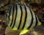 Eight banded butterfly fish