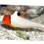Photo Bicolor parrot fish, Motley