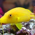 Goldsaddle goatfish (Yellow goatfish)