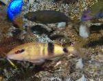 Photo Manybar goatfish, Striped