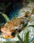 Photo Porcupine Puffer, Spotted