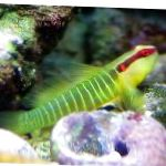 Greenbanded Goby