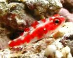 Red Spotted Goby