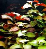 Photo Creeping ludwigia, Narrow-leaf ludwigia, Red