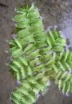 Photo Eared Watermoss, Green ferns