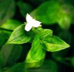 Photo Tradescantia fluminensis, Green
