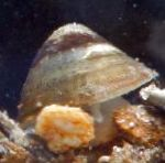 Photo River Limpet, beige Clam