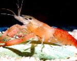 Photo Macrobrachium, red shrimp