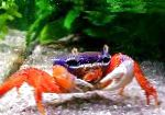 Photo Pacific Land Crab, Rainbow Crab, red