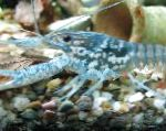 Photo Black Mottled Crayfish, blue