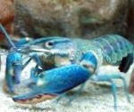 Red Claw Cray (Blue Lobster)
