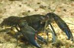 Photo Cyan Yabby, grey crayfish