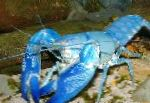 Photo Cyan Yabby, blue crayfish