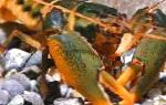 Photo Cherax Holthuisi, brown crayfish