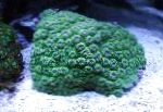 Photo Honeycomb Coral, green