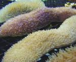 Photo Tongue Coral (Slipper Coral), yellow