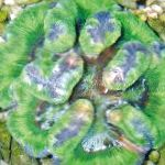 Photo Symphyllia Coral, green