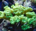 Photo Torch Coral (Candycane Coral, Trumpet Coral), yellow