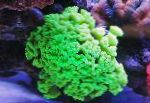 Photo Torch Coral (Candycane Coral, Trumpet Coral), green