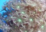 Photo Star Polyp, Tube Coral, green clavularia