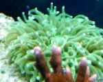 Photo Large-Tentacled Plate Coral (Anemone Mushroom Coral), green