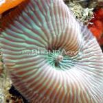 Photo Actinodiscus, striped mushroom