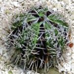 Photo Collector Sea Urchins (Sea Eggs), grey