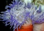 Photo Red-Base Anemone, transparent