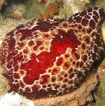 Photo Grand Pleurobranch, brown sea slugs