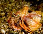 Photo Anemone Hermit Crab, red lobsters