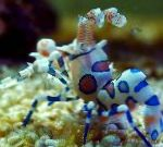 Photo Harlequin Shrimp, Clown (White Orchid) Shrimp, brown