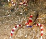 Red Banded Boxer Shrimp, White-Banded Cleaner Shrimp, Boxing Shrimp