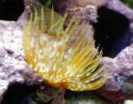 Photo Giant Fanworm, yellow